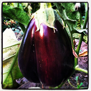 Urban Eden Farm egg plant