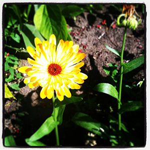 Edible Flower Calendula